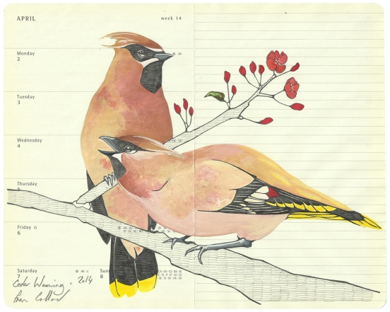 Single. Cedar Waxwing
